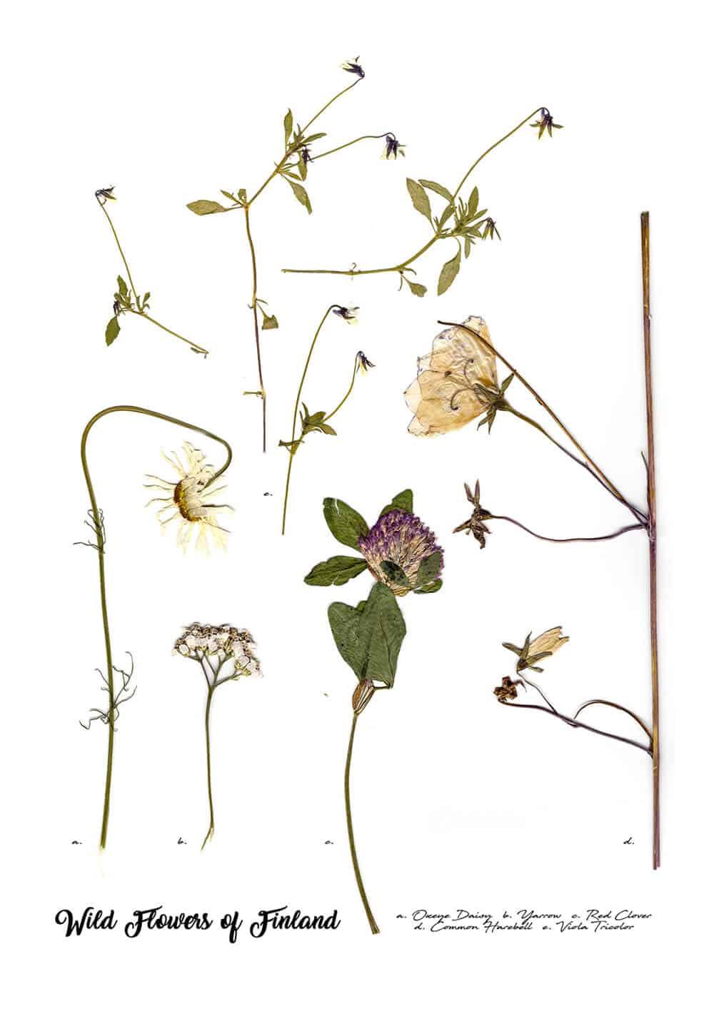 Natalie Field, Wild Flowers of Finland Annotation, 2018.